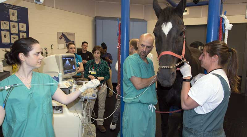 Veterinarians place a 3-foot long catheter tipped with electrodes into the right atrium of On-Star, a 19-year-old mare from the Cornell Equine Park teaching herd. Photo: Cornell University