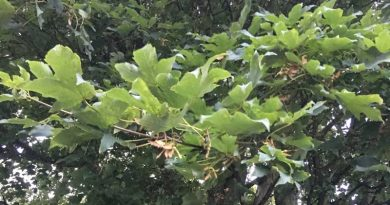 Seasonal Pasture Myopathy is a highly fatal muscle disease in horses caused by the toxin hypoglycin A, which is contained in tree seeds including that of the sycamore.