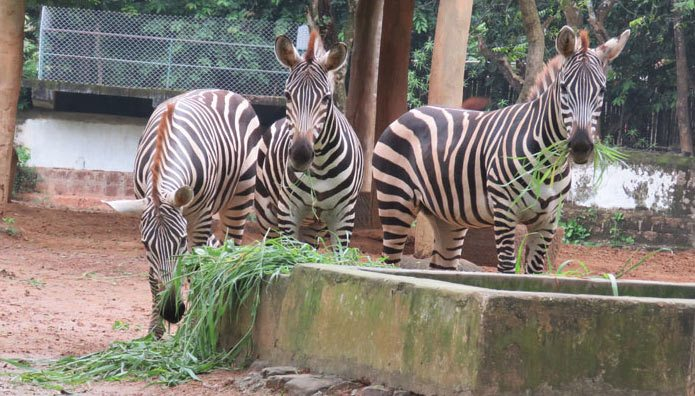 There are no zebras left at India'sNandankanan Zoological Park, with the death of the fourth individual this month.