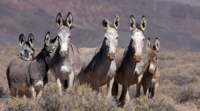 Wild burros in Arizona. Photo: BLM