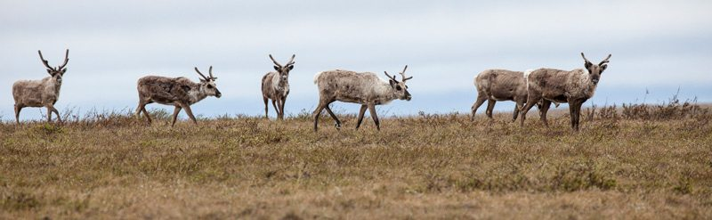 Teshekpuk Caribou in the Northeast National Petroleum Reserve in Alaska.