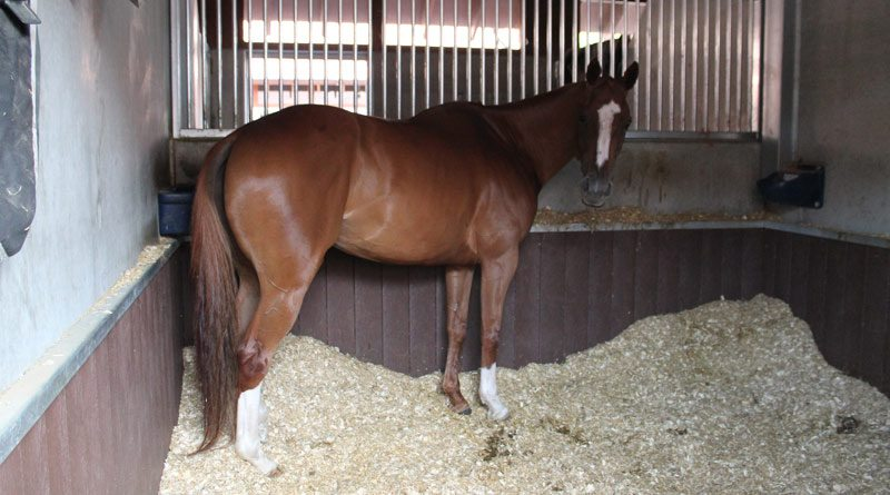 Make sure the horse's bedding is deep enough to avoid capped hocks or other injuries.