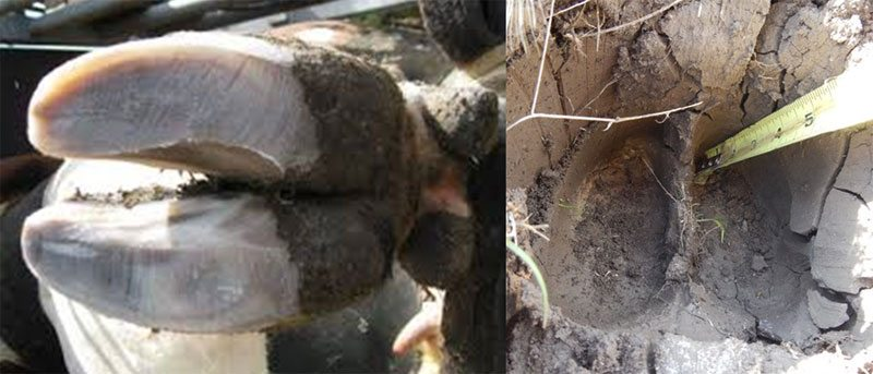 The bovine hoof has two pointed claws and penetrates deeply into the same soil as photo above.