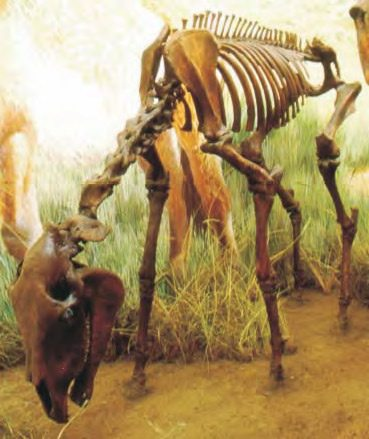 Mounted casts of a Yukon horse; skeletons reconstructed using matching bones from several specimens.