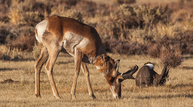 A sage grouse and a pronghorn in Bodie Hills, California. The Pronghorn is the only surviving member of the Antilocapridae family and it has been in North America for more than a million years.