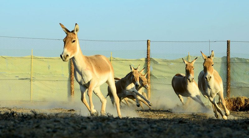The first group of kulan that were captured in a corral in Altyn Emel National Park.