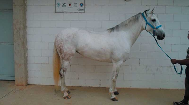 One of the Brazilian Sport Horses used in the study, the stance used for their evaluation. Photo: Ferreira Padilha et al. http://dx.doi.org/10.1590/s1806-92902017000100005