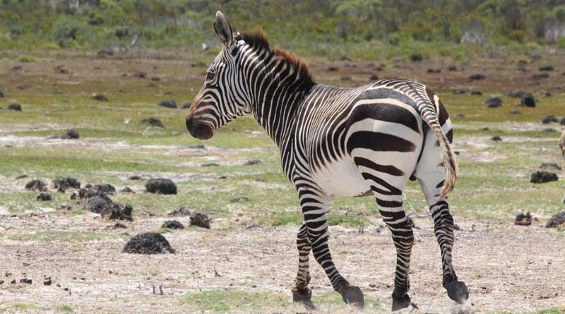 A Cape mountain zebra in South Africa. Photo: Jessica Lea, University of Manchester