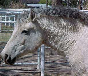 Duchess is a domestic curly horse who tested homozygous (AA). SHe is owned by Donna Hedicke.