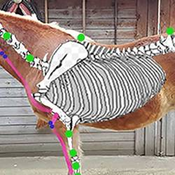 Kinesio taping put to the test in horses