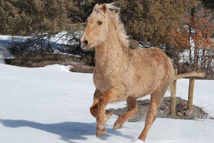 Lucky Jack is a Canadian born curly horse. He is the author's main mountain horse.
