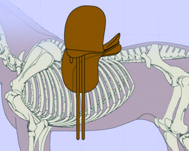 This saddle is positioned behind the shoulder but a) is too long for the horse's back as it extends past the 18th thoracic vertebra and b) the billets are too far back and will pull the saddle onto the shoulder in motion.