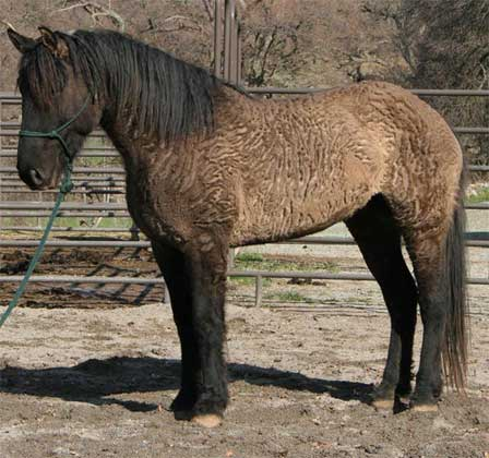 Mezcal is a wild-born Sulphur mare, shown in her winter coat. She is owned by Dan and Duv Cardenas.
