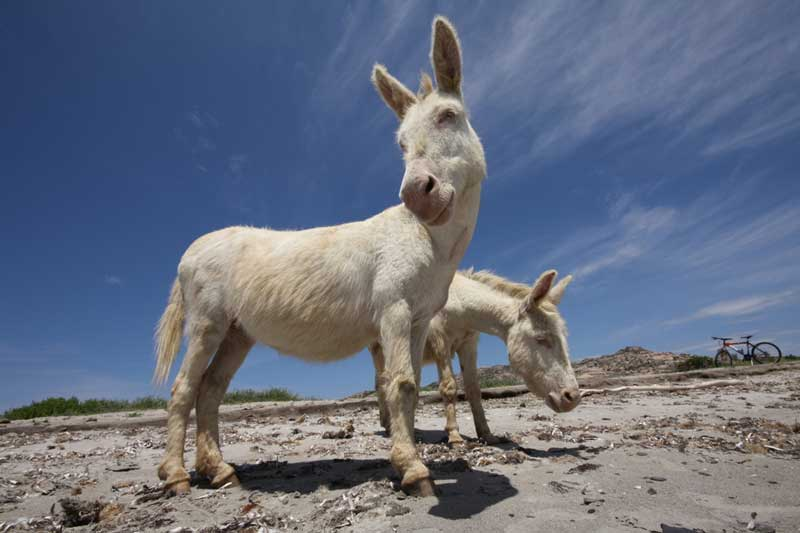 The albino donkey, after which Asinara Island was probably named. Photo: https://www.flickr.com/photos/asibiri/ CC BY-SA 2.0 via Wikimedia Commons
