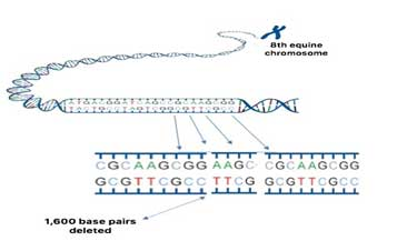 A graphic showing the deletion of 1617 base pairs from the 8th chromosome.