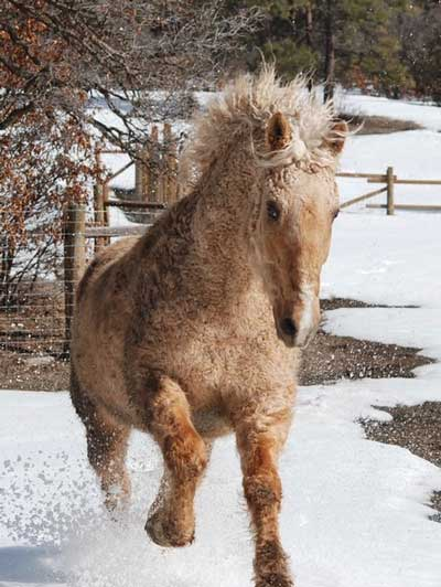 The author's Canadian-born curly horse, Lucky Jack.