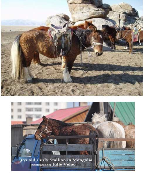 Mongolian curly coated horses.