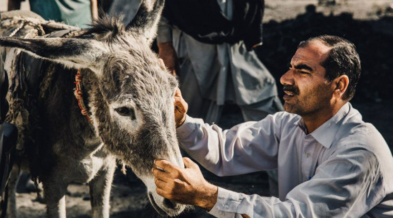 An equine health care worker takes a look at a working donkey in Pakistan.