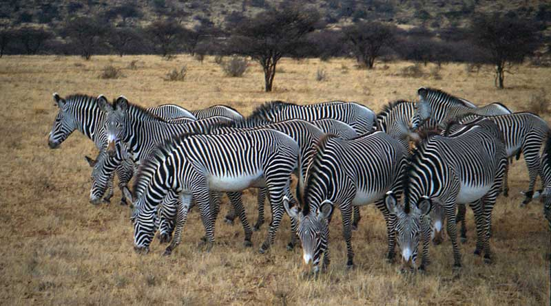 Grevy's zebras in Samburu National Reserve. Photo: Dan Lundberg, CC BY-SA 2.0 via Wikimedia Commons