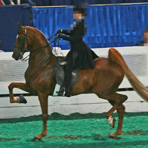 Saddlebred (Saddle Seat) demonstrating over-exaggerated leg movement with a hollow back and legs out behind. Source Wikipedia.