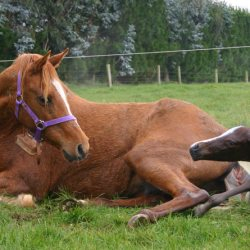 Bird-borne pathogen linked to Australian equine abortions