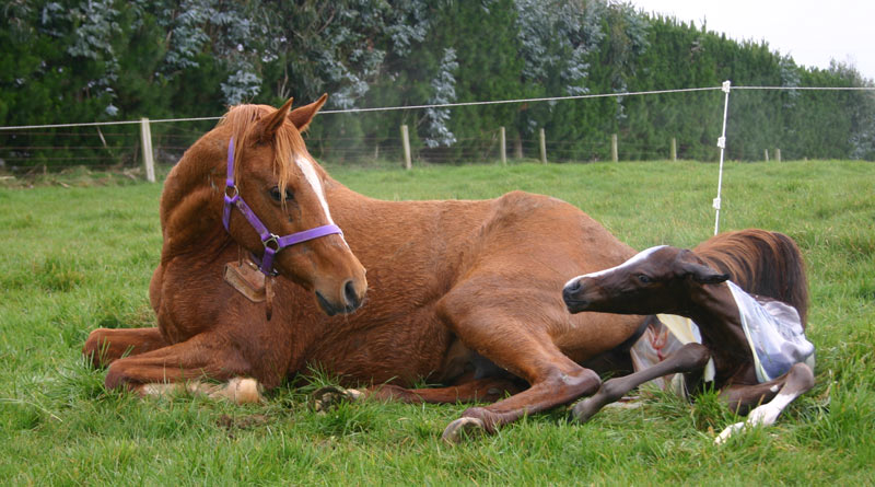 Improved fertility and breeding efficiency have resulted from scientific advances in equine reproduction. Photo: File