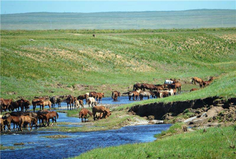 A modern domestic horse herd in northern Kazakhstan, photographed in 2016. Photo: © Alan Outram / University of Exeter
