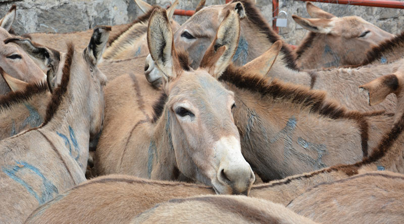 Donkeys in Kenya lined up for slaughter.