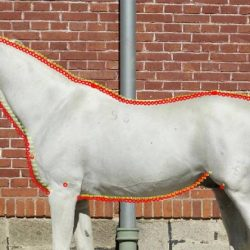 Researchers pinpoint the look of the oriental-style Lipizzaner