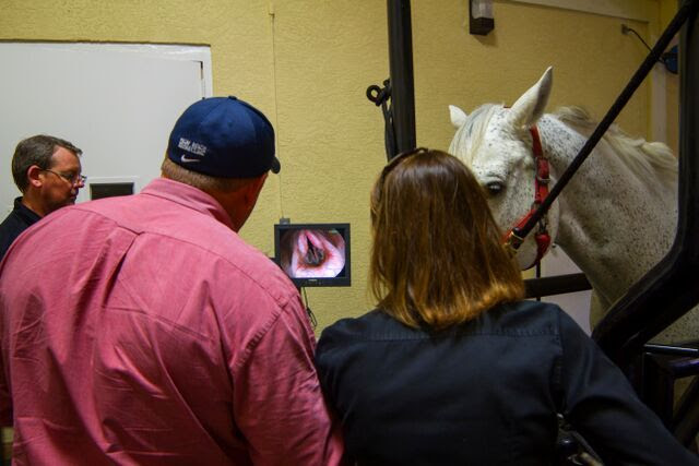 Palm Beach Equine Clinic veterinarians evaluate a horse using a scope. © PBEC