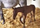 """""""Test-tube"""" foal's birth a first for US vet school"""