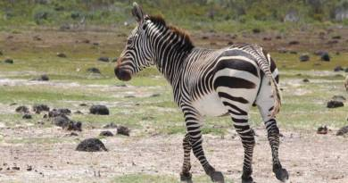 A Cape mountain zebra in South Africa. Photo: Jessica Lea, University of Manchester