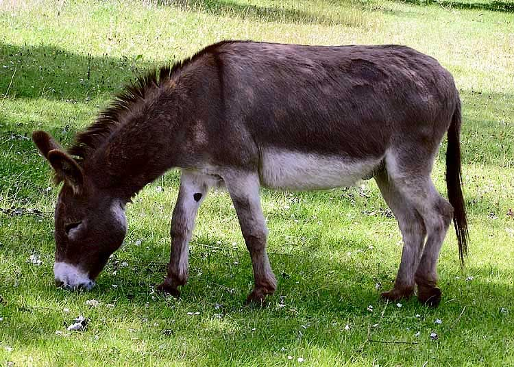 A new genome for the donkey has been completed. Photo: Adrian Pingstone, public domain, via Wikimedia Commons.