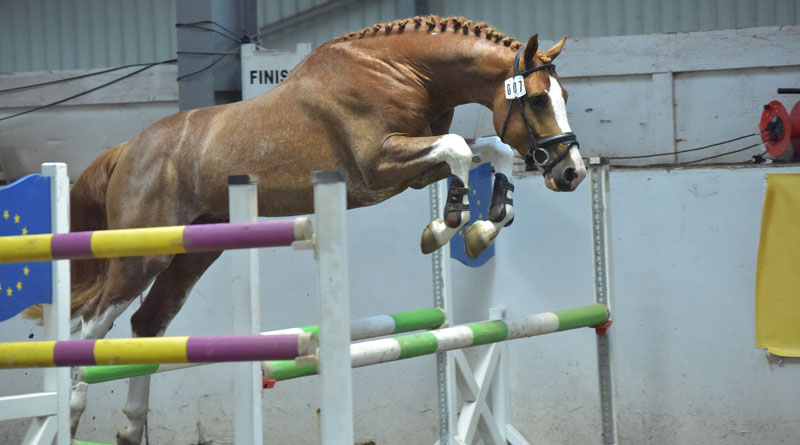 Hocus Pocus at a jumping evaluation test.