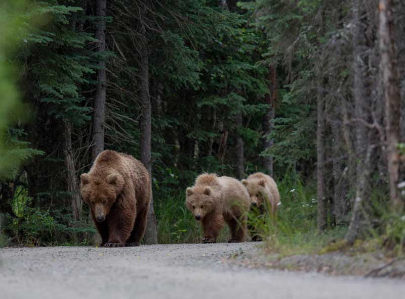 Mammals, such as these bears on a street in Poland, tend to move much less in areas that are characterised by humans than in wilderness. Photo: Adam Wajrak