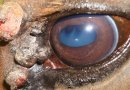 Eye tumours rare in horses, but abnormal tissue growth common