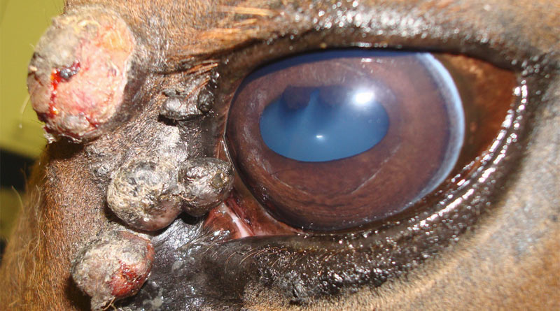 Sarcoids that occur around the eye are frequently more aggressive in nature, invading into the eyelid musculature, especially those located on the upper eyelid.