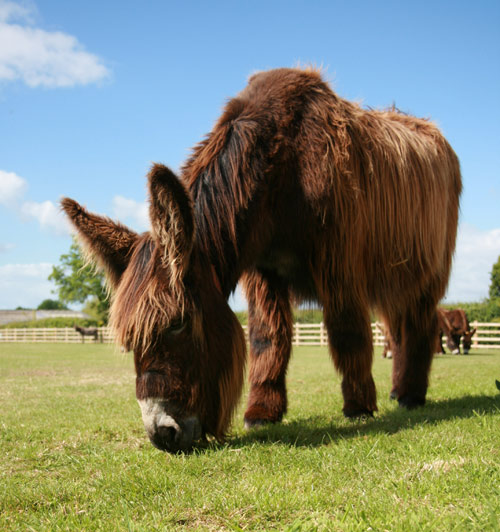 Donkeys come in many shapes and sizes, including the Poitou, who stand up to 63 inches tall.