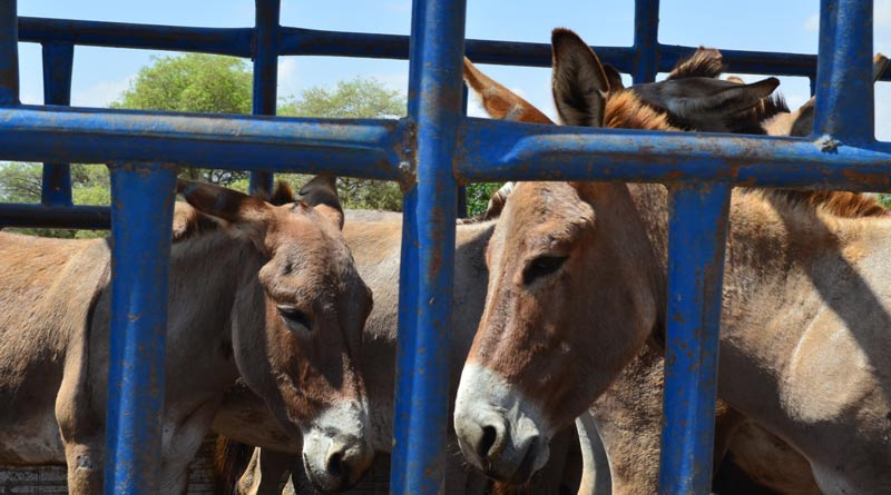 Donkeys in a feedlot inBulawayo, Zimbabwe.