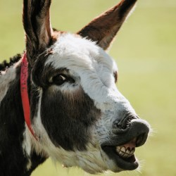 "A donkey displaying the ""flehmen response"", a reaction to a new or interesting smell. © The Donkey Sanctuary"