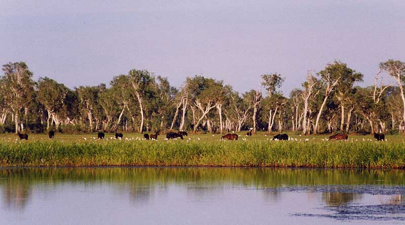 Brumbies graze in Kakadu National Park. Photo: Cgoodwin, CC BY 3.0, from Wikimedia Commons
