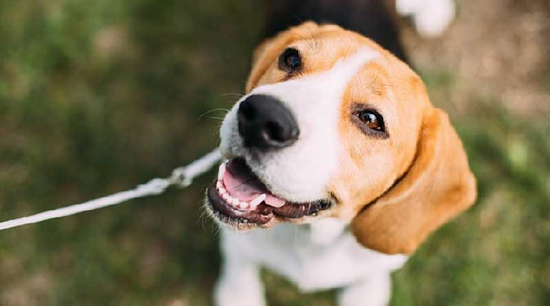 Influenza diversity in dogs has increased so much now that the type of combinations of viruses that can be created in dogs represent a potential risk for a virus to jump from a dog into a human.