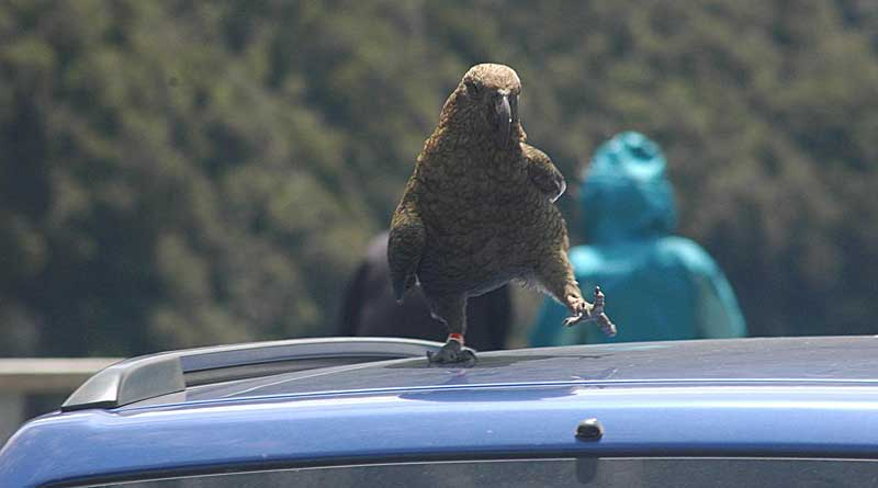 A bird called a kea stands on the roof of a vehicle at Arthur's Pass National Park in New Zealand. The birds are known to frequently open 'animal-proof' trash bins. Photo: Sarah Benson-Amram