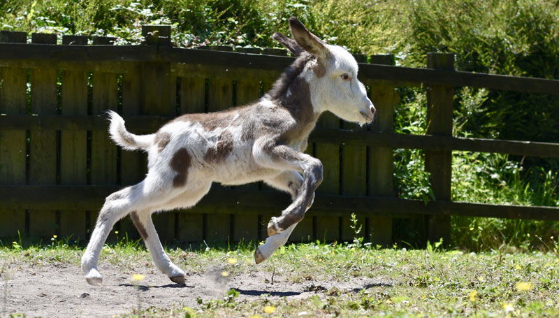 Super-cute Coby is enjoying life, thanks to The Donkey Sanctuary.