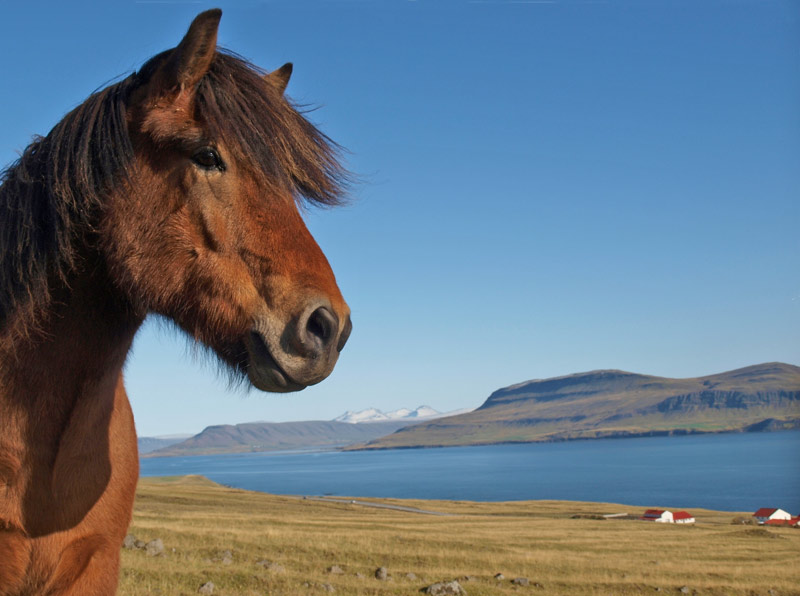 A Newfoundland pony.