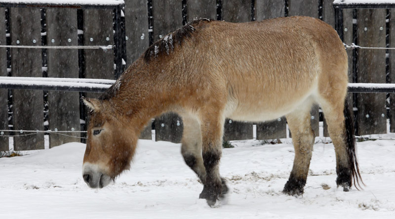 Przewalski's horse Rose Marie has died at the age of 31 at Smithsonian's National Zoo in Washington, DC.