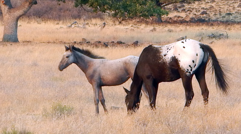 Two members of the wild horse herd near the Simpson ranch in themountains of the Oregon-California border.