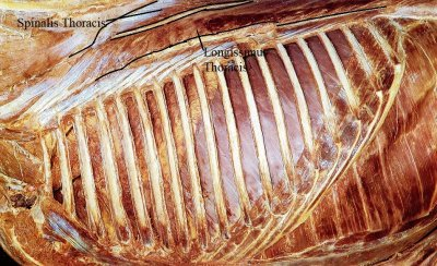 The muscles which really move the thoracolumbar column, the longissimus thoracis, (thoracic element of the longissimus dorsi,) is situated deeper under.