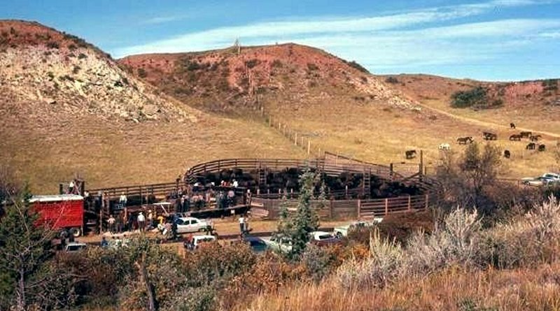 Corralled wild horses, right, and bison in Theodore Roosevelt National Park. Photo: Public Domain, via Wikimedia Commons