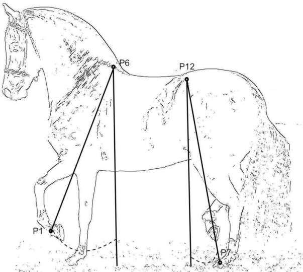 Limbs angle measurements taken in a sample of the Colombian paso horses. Image: Novoa-Bravo et al. https://doi.org/10.1371/journal.pone.0202584